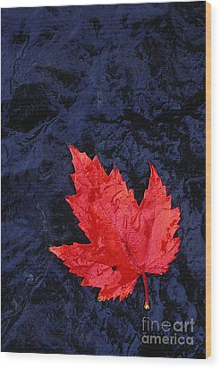 Red Maple Leaf And Black Stone - Fs000222 Wood Print by Daniel Dempster
