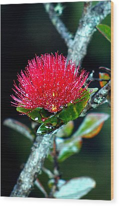 Red Ohia Lehua In Hawaii Volcano Mist Wood Print