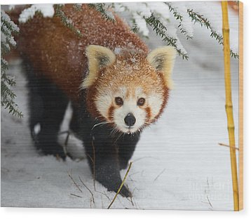 Red Panda In The Snow Wood Print
