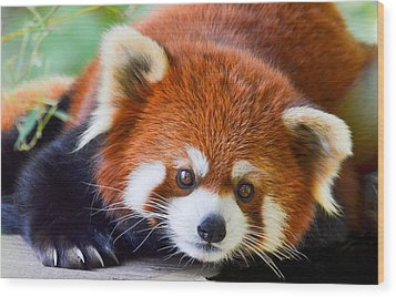Red Panda Wood Print by Michael Hubley