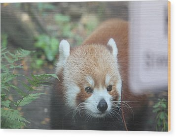 Red Panda - National Zoo - 01132 Wood Print by DC Photographer
