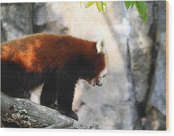 Red Panda - National Zoo - 01139 Wood Print by DC Photographer