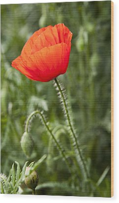 Red Poppy Wood Print by David Isaacson