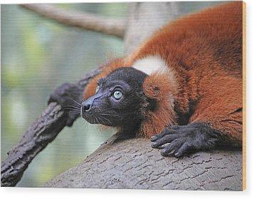 Red-ruffed Lemur Wood Print by Karol Livote