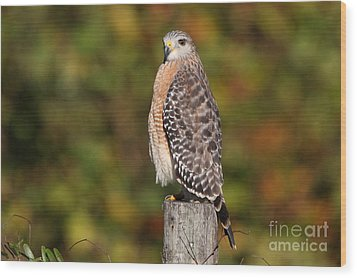 Red-shoulder Hawk Wood Print by Jennifer Zelik
