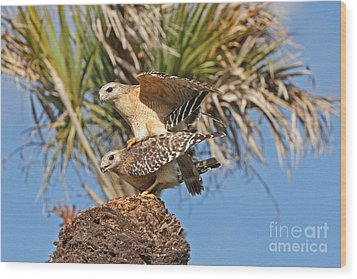 Red-shoulder Hawks Wood Print by Jennifer Zelik