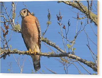Red Shouldered Hawk Wood Print by Jodi Terracina