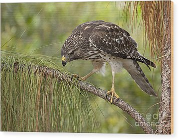 Red Shouldered Hawk Photo Wood Print