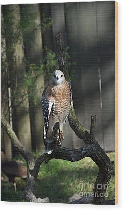 Red Shouldered-hawk Wood Print