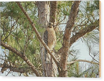 Wood Print featuring the photograph Red-shouldered Hawk by Zoe Ferrie