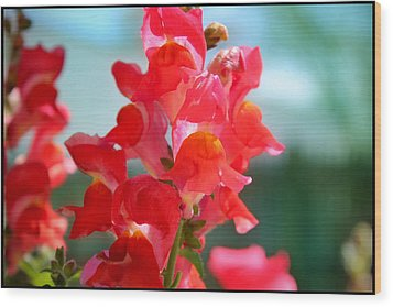 Red Snapdragons I Wood Print by Aya Murrells