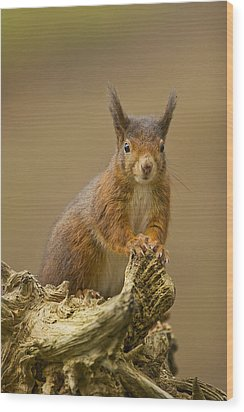Wood Print featuring the photograph Red Squirrel by Paul Scoullar