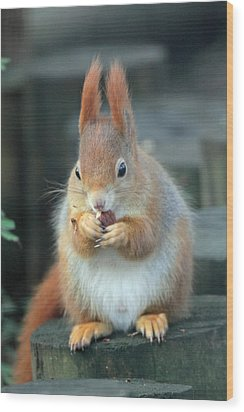 Red Squirrel With A Nut Wood Print by Martyn Bennett