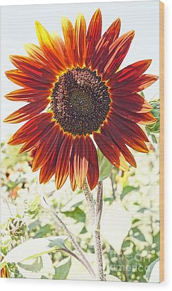 Red Sunflower Glow Wood Print by Kerri Mortenson