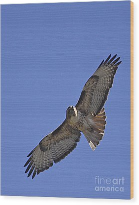 Red-tail Hawk  #1853 Wood Print by J L Woody Wooden