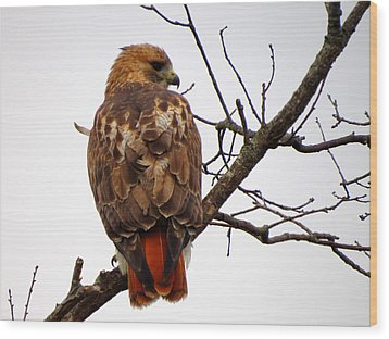 Red Tail Hawk In Winter Wood Print