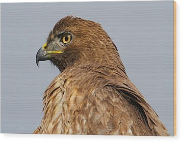 Red Tail Hawk Portrait Wood Print by Paul Marto