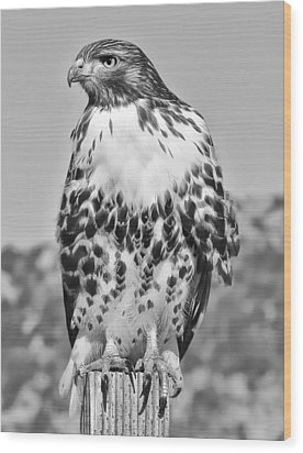 Red Tail Hawk Youth Black And White Wood Print by Jennie Marie Schell