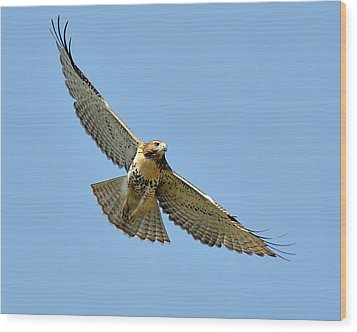Red Tail In Flight Wood Print by Angel Cher