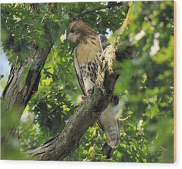 Red Tailed Hawk Wood Print by Angel Cher