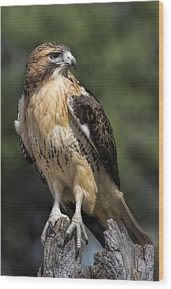 Red Tailed Hawk Wood Print by Dale Kincaid