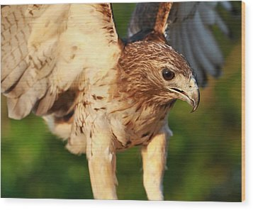 Red Tailed Hawk Hunting Wood Print by Dan Sproul