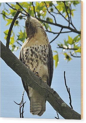 Red Tailed Hawk Juvy Wood Print by Angel Cher