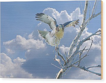 Red-tailed Hawk Pirouette Pose Wood Print by Roy Williams