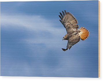 Red Tailed Hawk Soaring Wood Print by Bill Wakeley