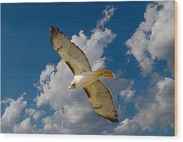 Red-tailed Hawk Soaring Series 5 Wood Print