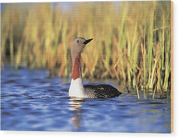 Red-throated Loon Wood Print by Paul J. Fusco