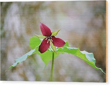 Wood Print featuring the photograph Red Trillium by David Porteus