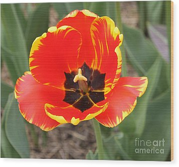 Red Tulip At Brooklyn Botanical Gardens Wood Print by John Telfer