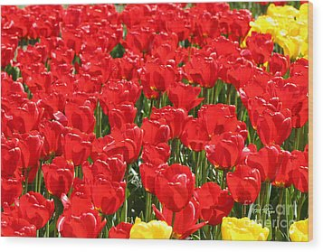 Red Tulip Field Wood Print by Tap On Photo