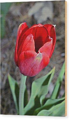 Red Tulip In Garden Wood Print by Susan Leggett