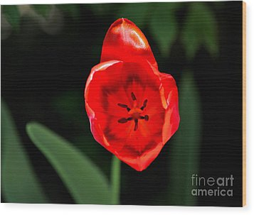 Wood Print featuring the photograph Red Tulip  by Jay Nodianos