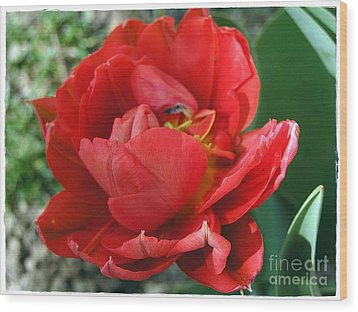Wood Print featuring the photograph Red Tulip by Vesna Martinjak