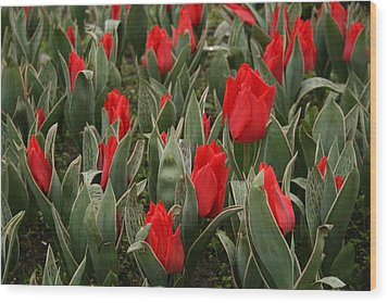 Red Tulips II Wood Print by Maeve O Connell