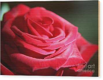 Red Velvet Rose By Morning Light  Wood Print