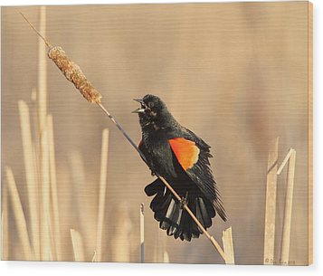 Red Winged Blackbird On Cattail Wood Print by Daniel Behm