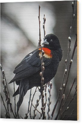 Red Winged Blackbird In Pussy Willows Wood Print by Patti Deters