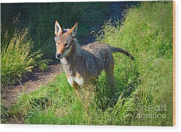 Red Wolf Pup Wood Print