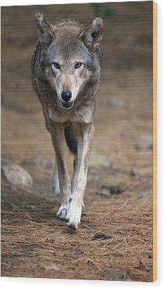 Red Wolf Strut Wood Print by Karol Livote