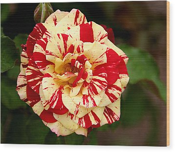 Red Yellow Rose Wood Print by Christine Till