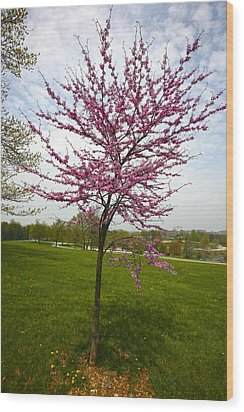 Redbud Tree Wood Print by John Holloway