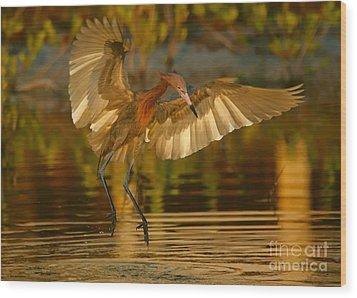 Reddish Egret In Golden Sunlight Wood Print