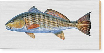 Redfish Wood Print by Carey Chen