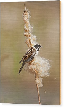 Wood Print featuring the photograph Reed Bunting On Reed Mace. by Paul Scoullar