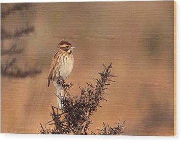 Reed Bunting Wood Print by Peter Skelton
