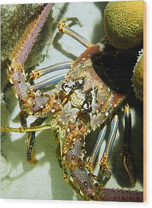 Reef Lobster Close Up Spotlight Wood Print by Amy McDaniel